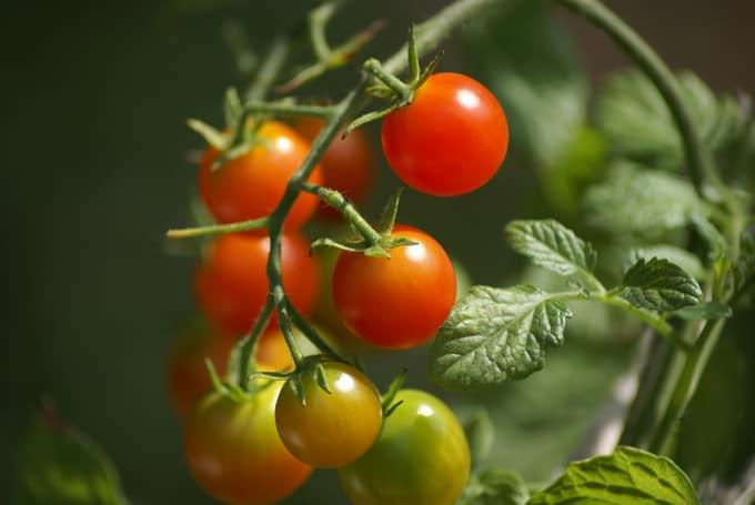 Los mejores tomates para la salsa